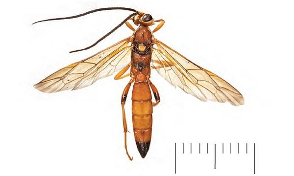 New species of wasp discovered in England