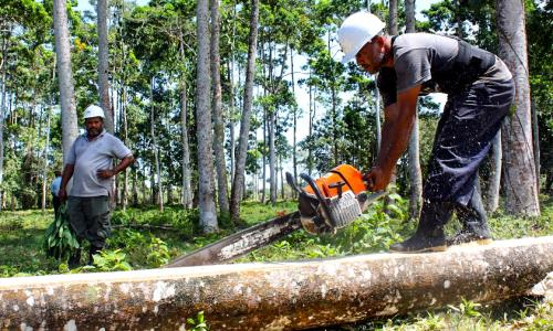Rainforest Alliance is teaching loggers who work for cooperatives like Las Camelias how to harvest timber sustainably.