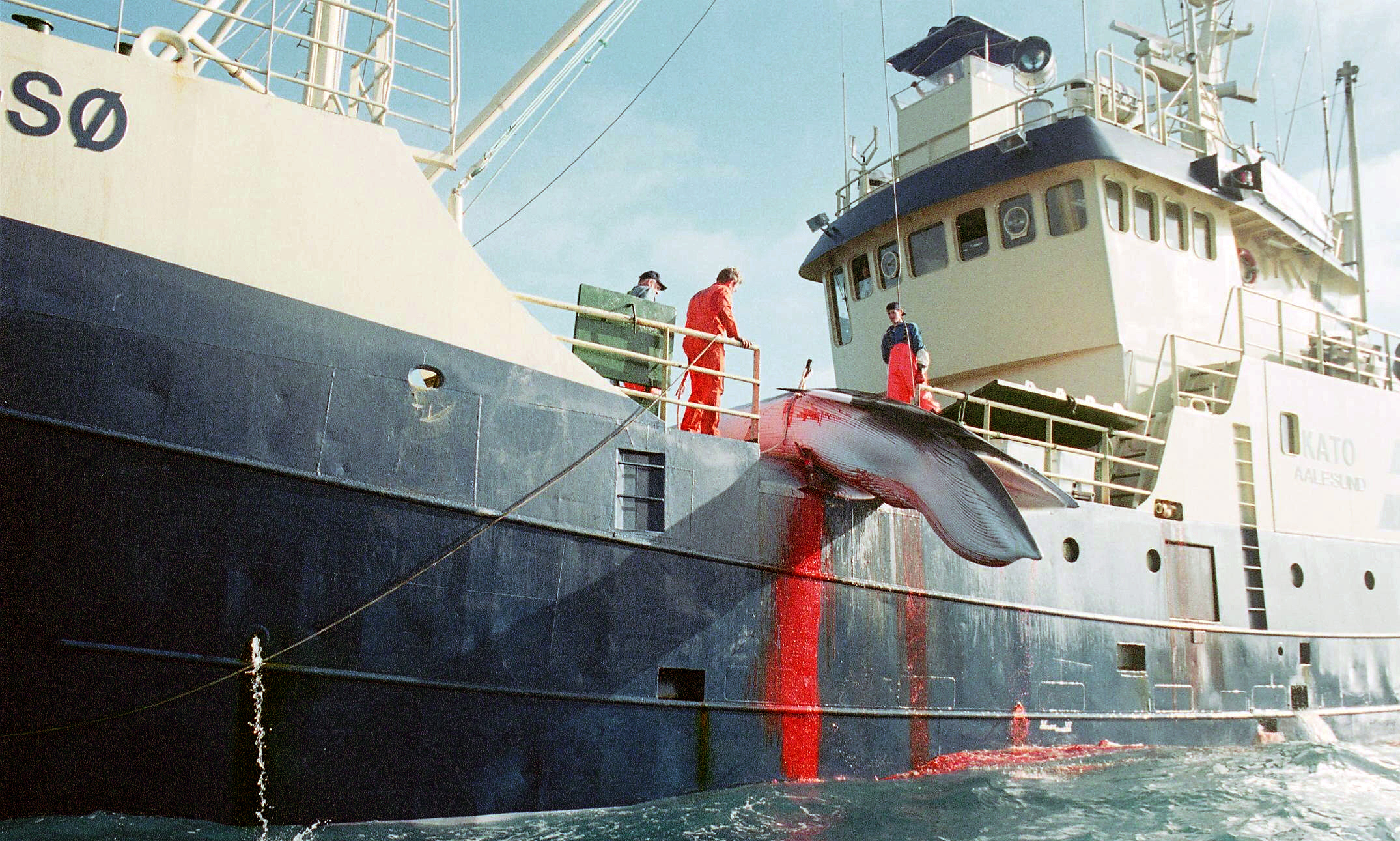 the cruel methods of the whaling Japanese director crowdfunds to screen pro  dolphins and research whaling in  the japanese coastal town of taiji for its cruel methods of hunting.