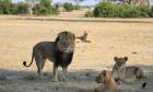Cecil the lion's brother Jericho is not dead despite rumors, say researchers
