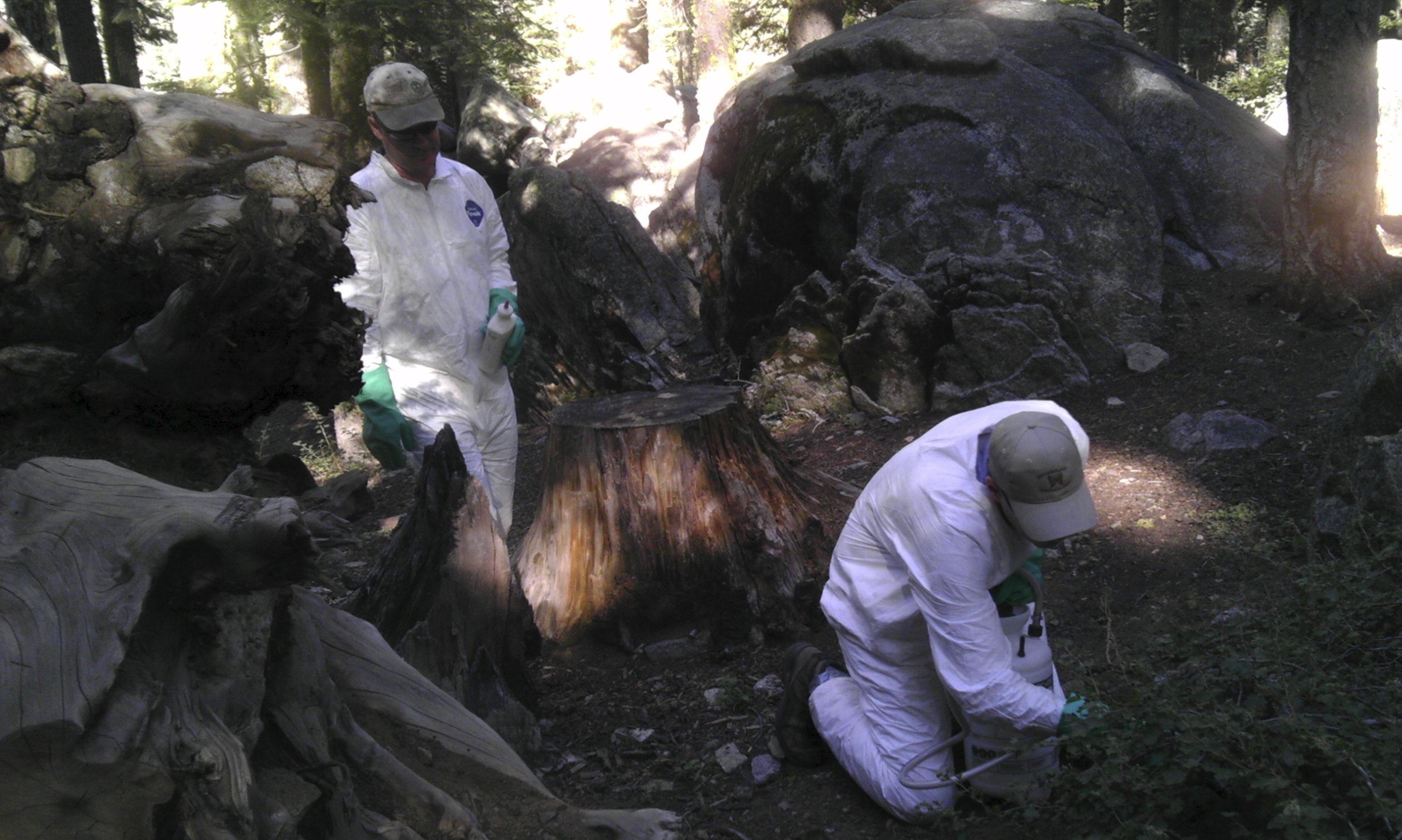 Squirrels with plague and tree-limb deaths darken Yosemite summer
