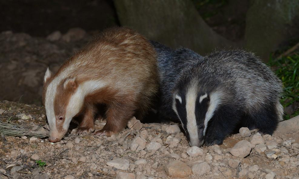 A special badger – with very special protectors