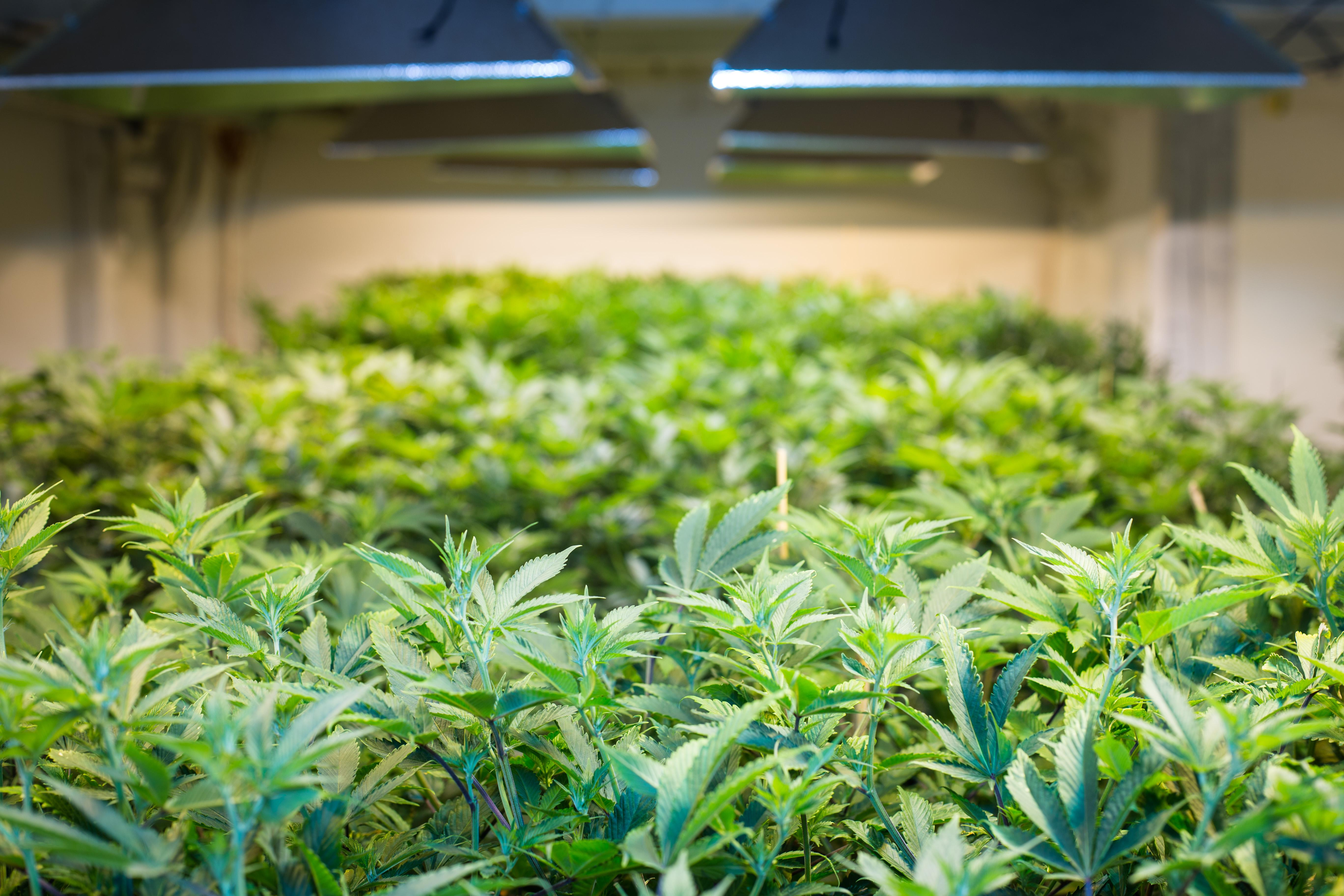 case analysis - pot of gold: the legalized marijuana industry Californians seek pot of gold in marijuana legalization  this was a chance not just to build companies but to build an industry  us urges un court to toss out iranian case on frozen assets.