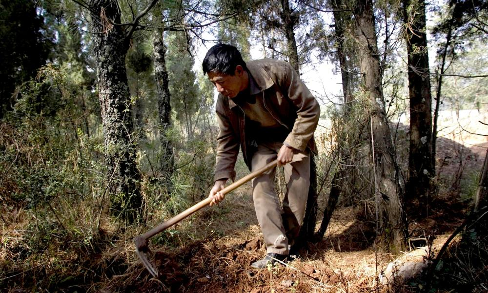 Chinese farmers use instinct and experience to find truffles.