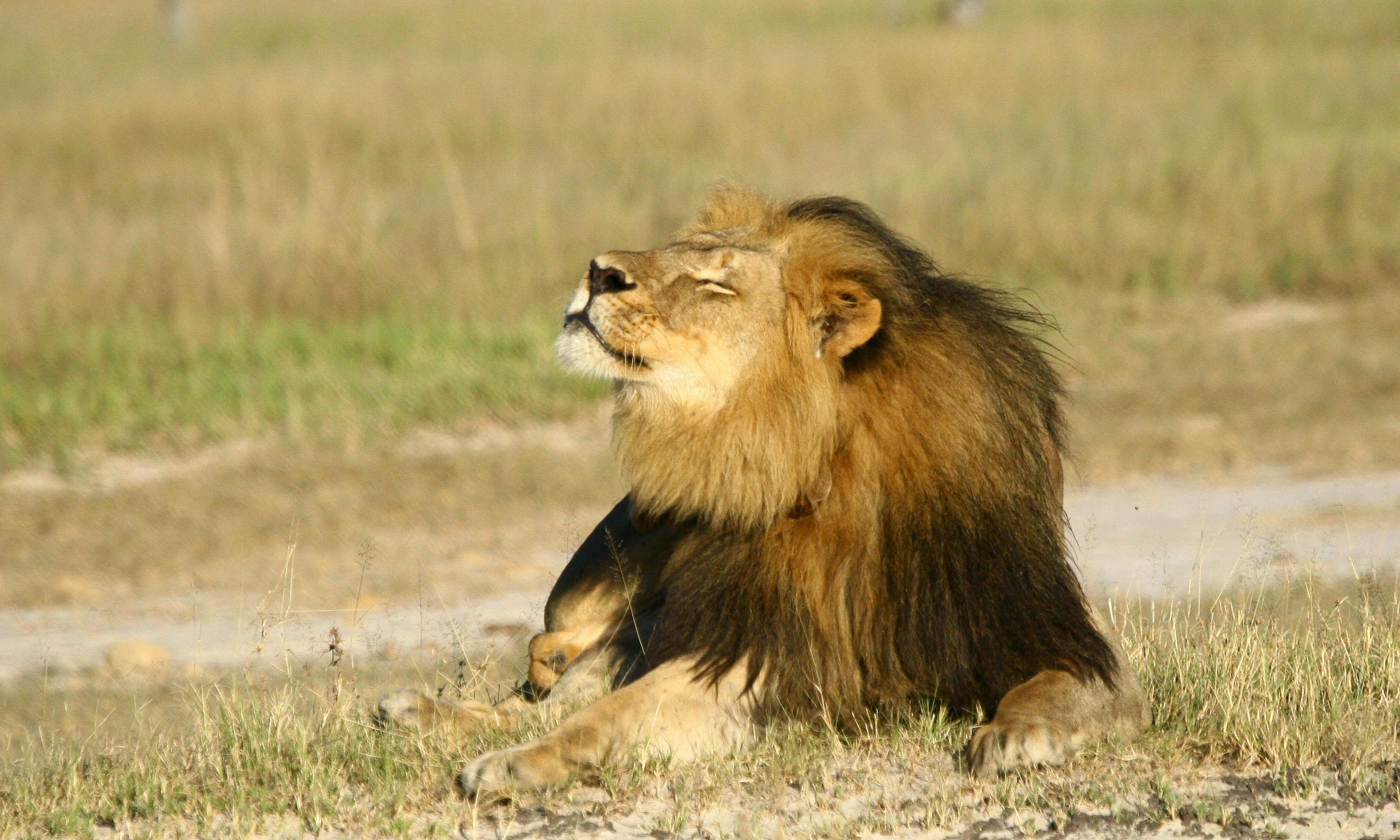 Cecil the lion: Zimbabwe man charged for role in animal's killing