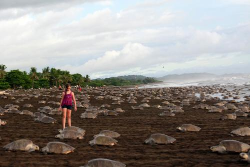 Sea turtles arriving to lay their eggs on Playa Ostional, 180 miles north-west of San Jose, the capital of Costa Rica. More than 250,000 olive ridley turtles came ashore on the beach in a mass nesting known as an arribada.