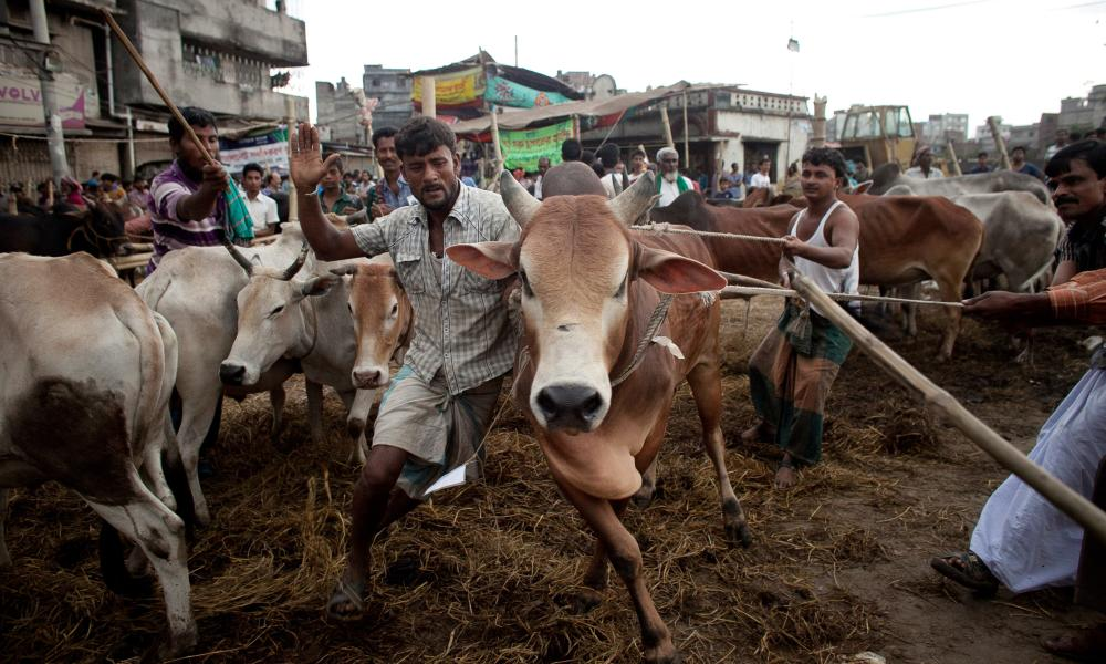 Hell for leather: men struggle to control a cow at a cattle market in Dhaka, Bangladesh.