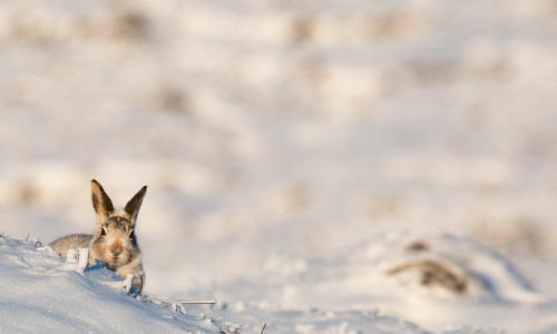 A mountain hare in the wintry Peak District