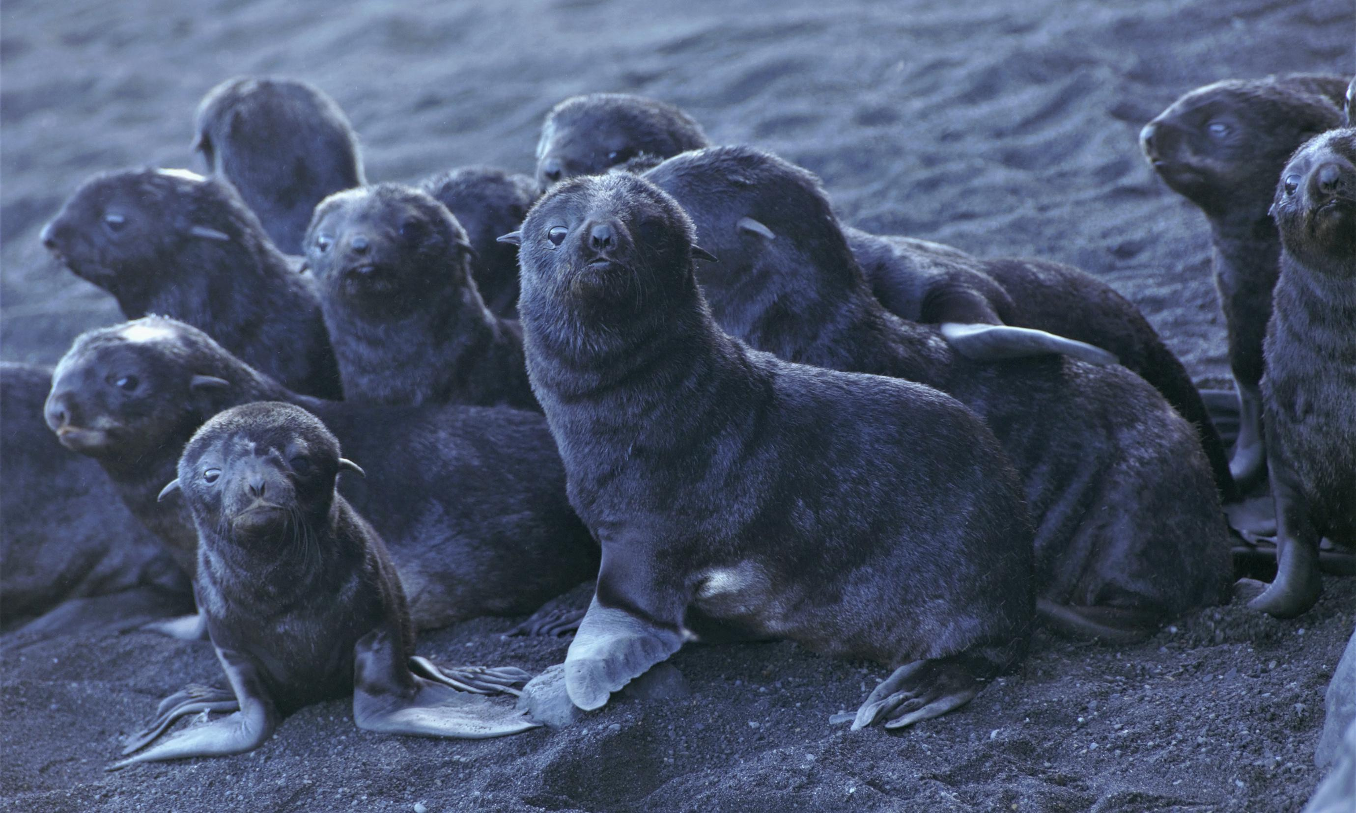 Pacific seals at risk as Arctic ice melt lets deadly disease spread from Atlantic