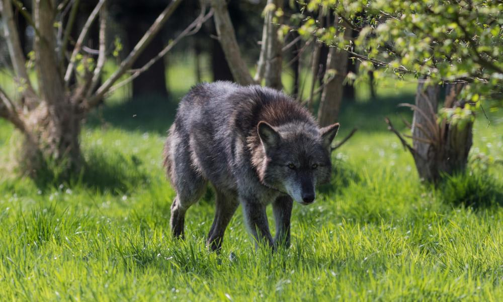 One of the Trust's 10 wolves.