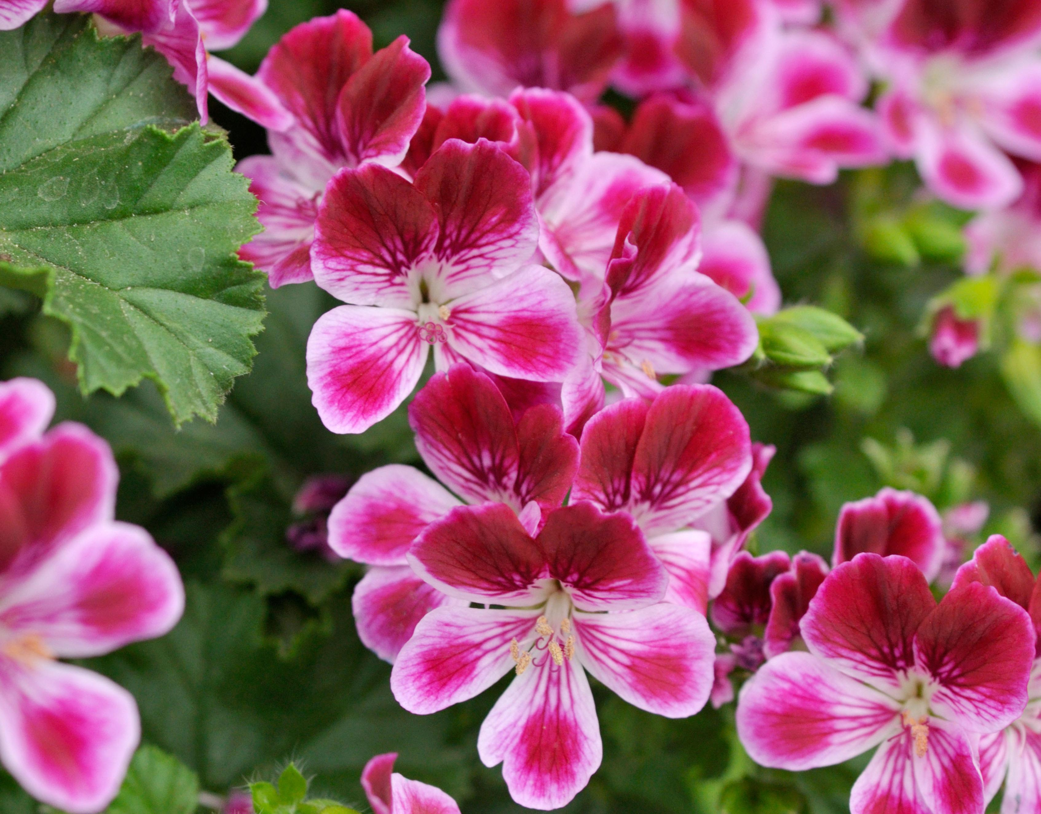 Scented pelargoniums – blooming perfect for patios