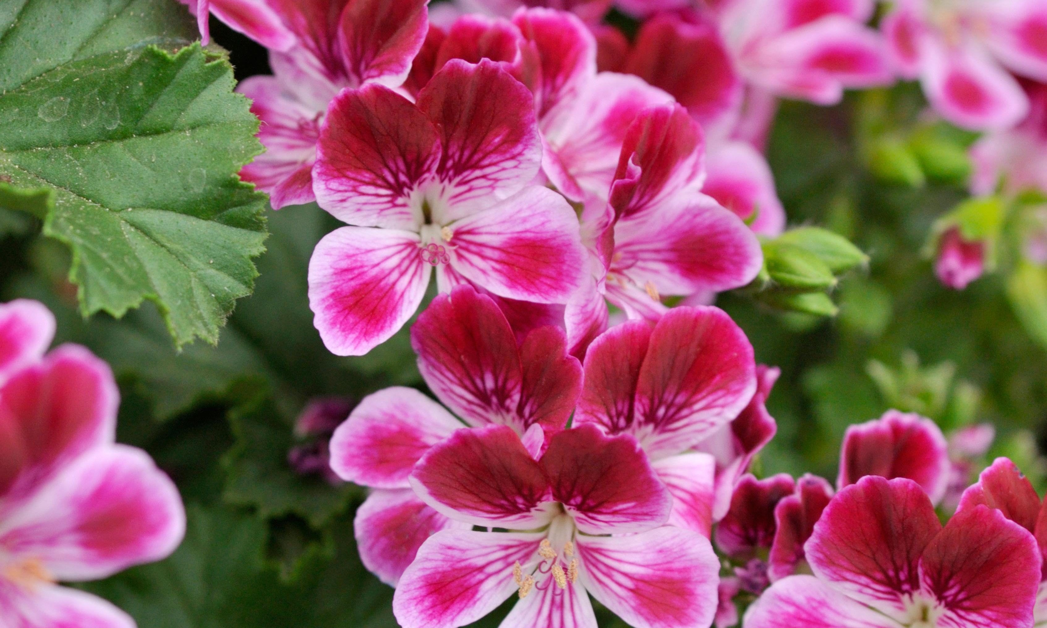 Pelargoniums for perfume all year round