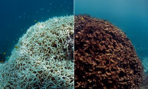 The impact of coral bleaching at Lizard Island on the Great Barrier Reef: (left) the coral turns white, known as 'bleaching', in March 2016; (right) the dead coral is blanketed by seaweed in May 2016