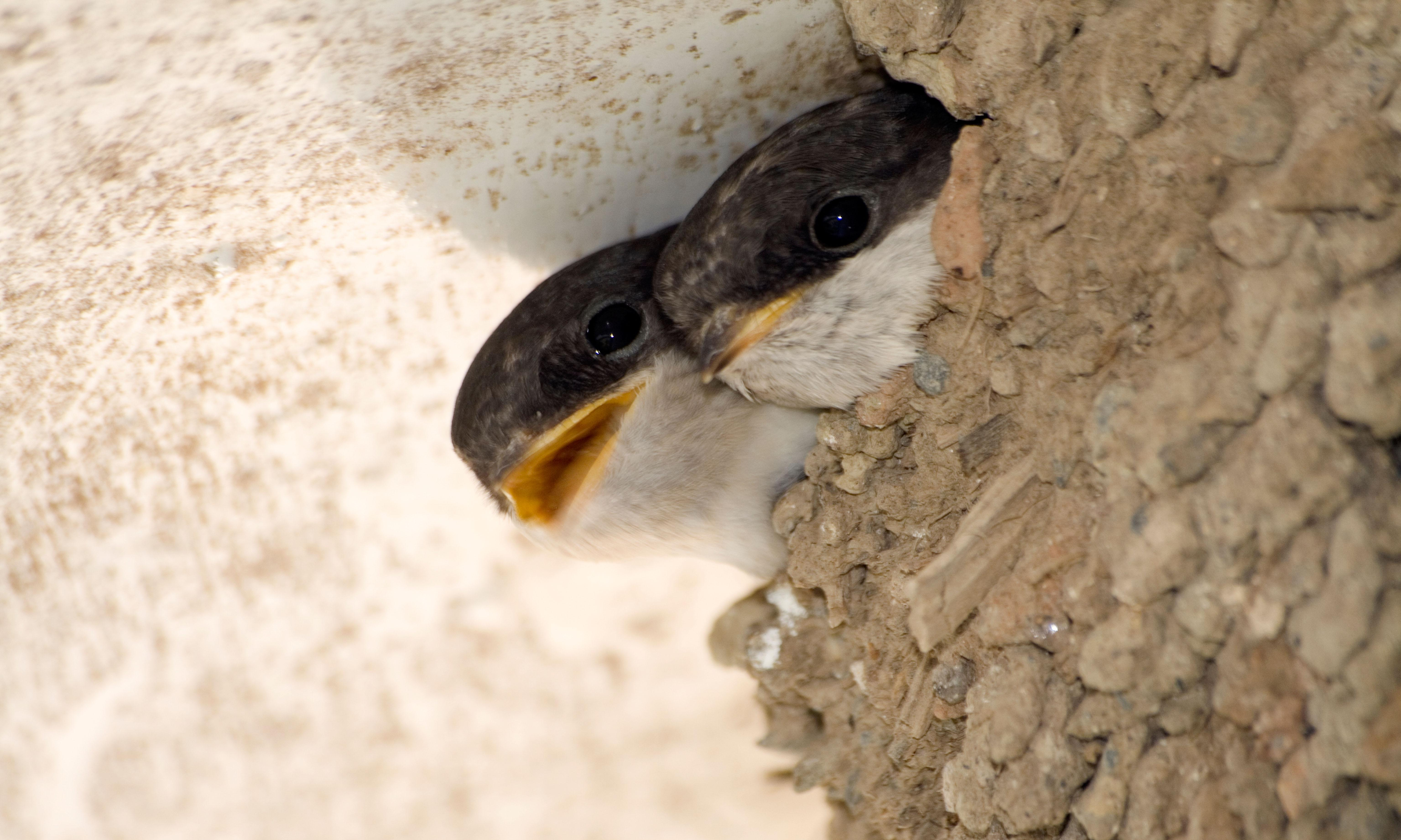 Country diary: house martins linger on despite signs of winter
