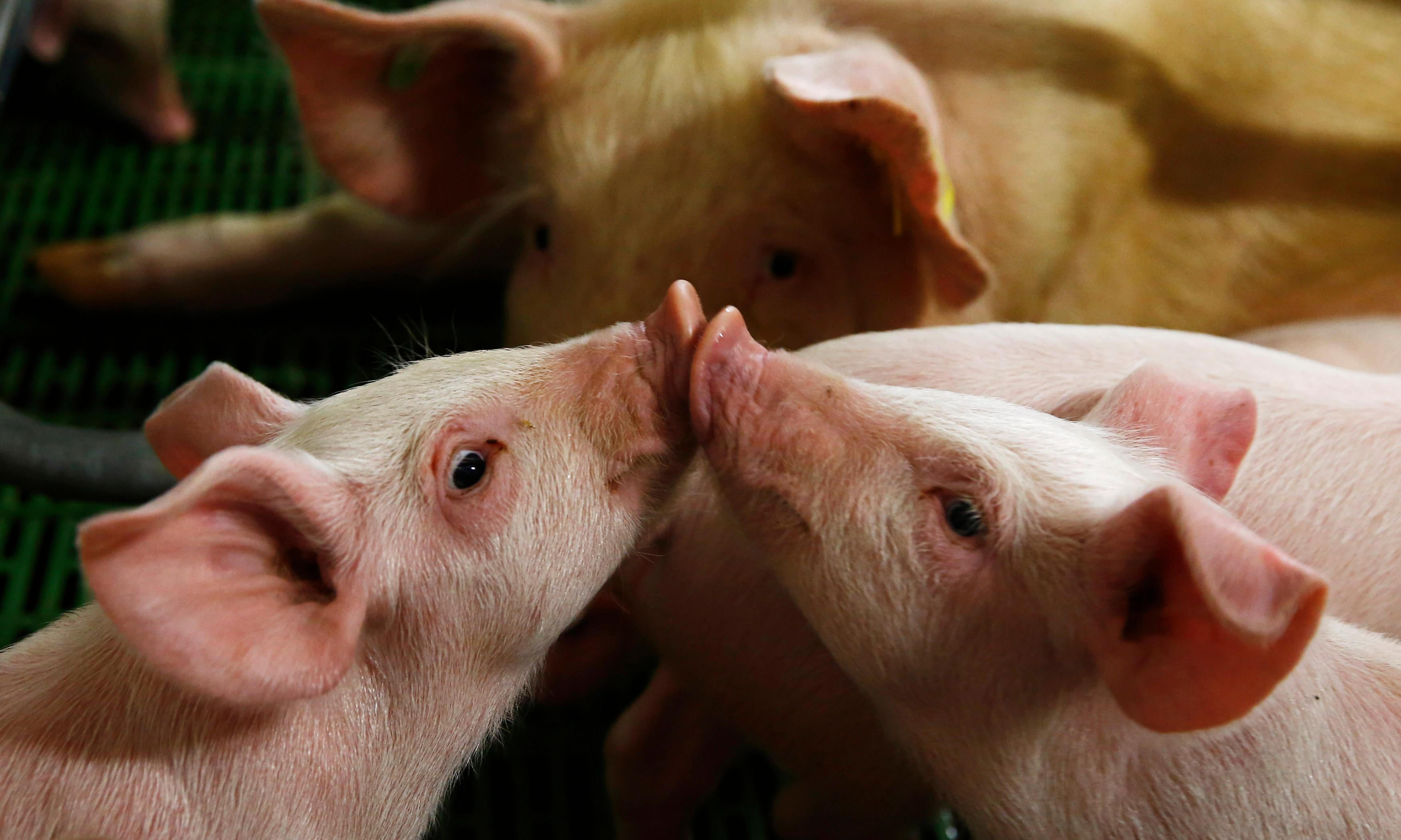 High risk of injuries in Denmark's live piglet export trade, audit warns