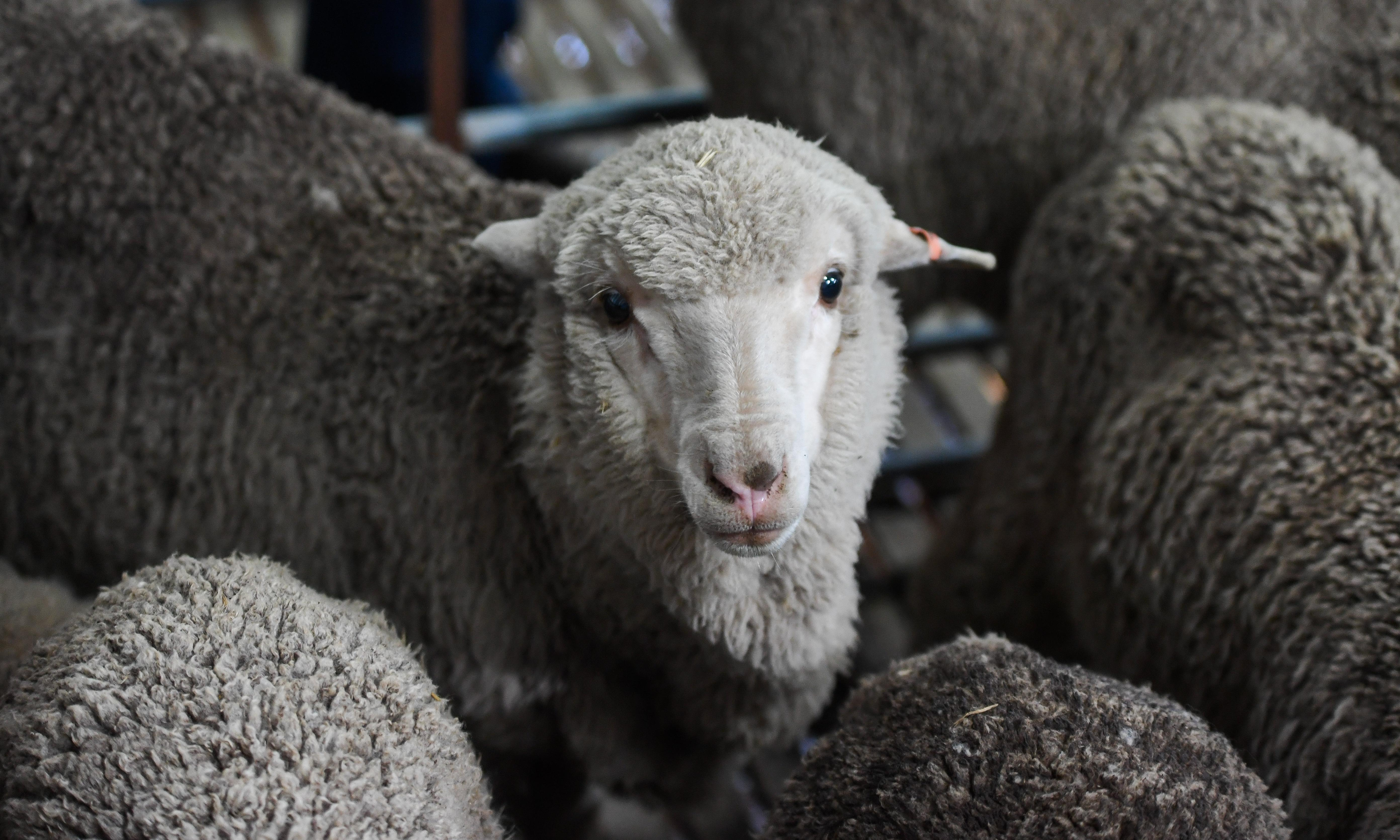 Sir Freddie the ram's 50-year-old frozen sperm used to produce offspring