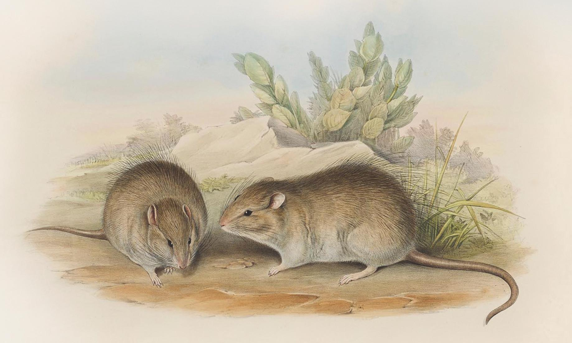 For the love of rodents: why Australia should be enchanted by its long-haired rat