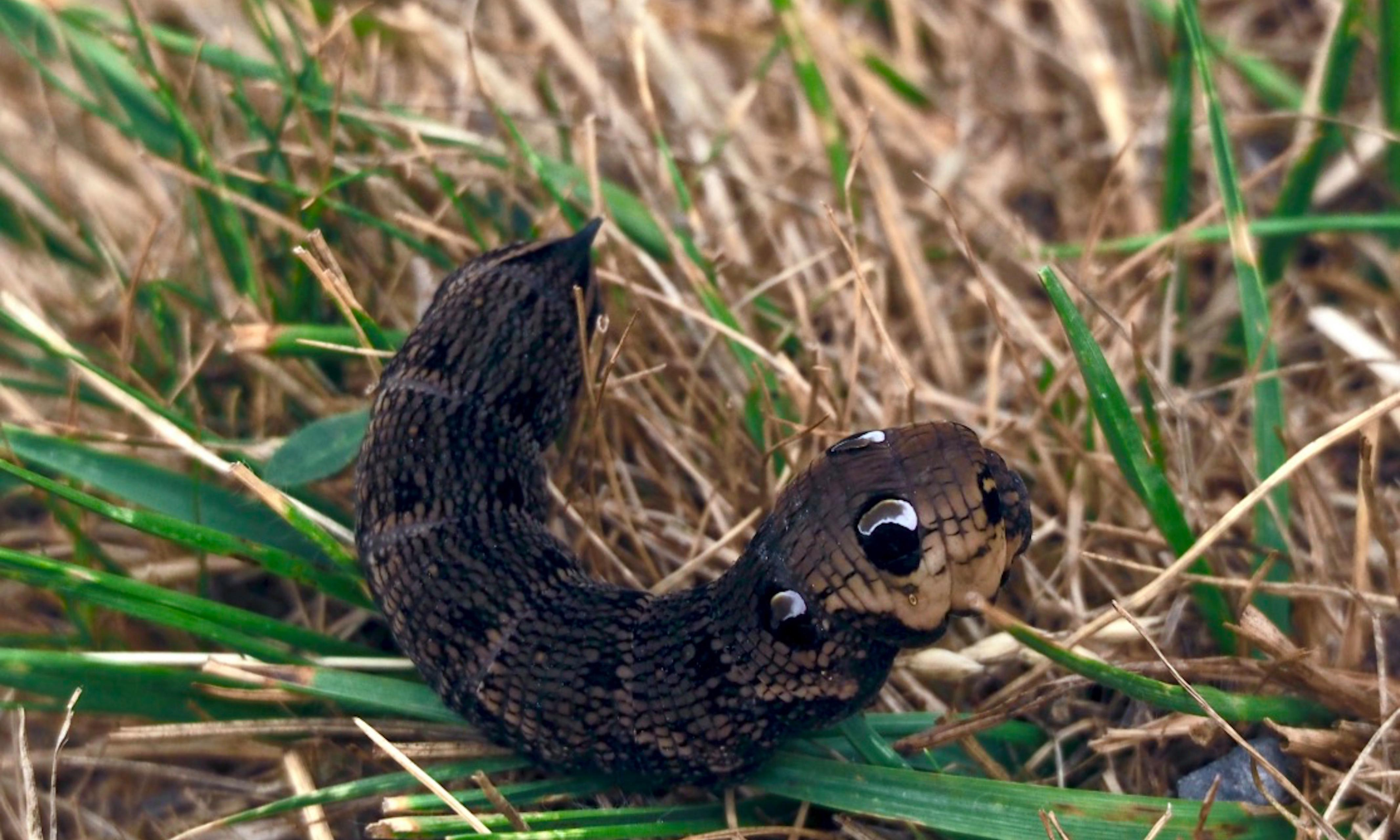 Country diary: a caterpillar transforms into a four-eyed, horned snake