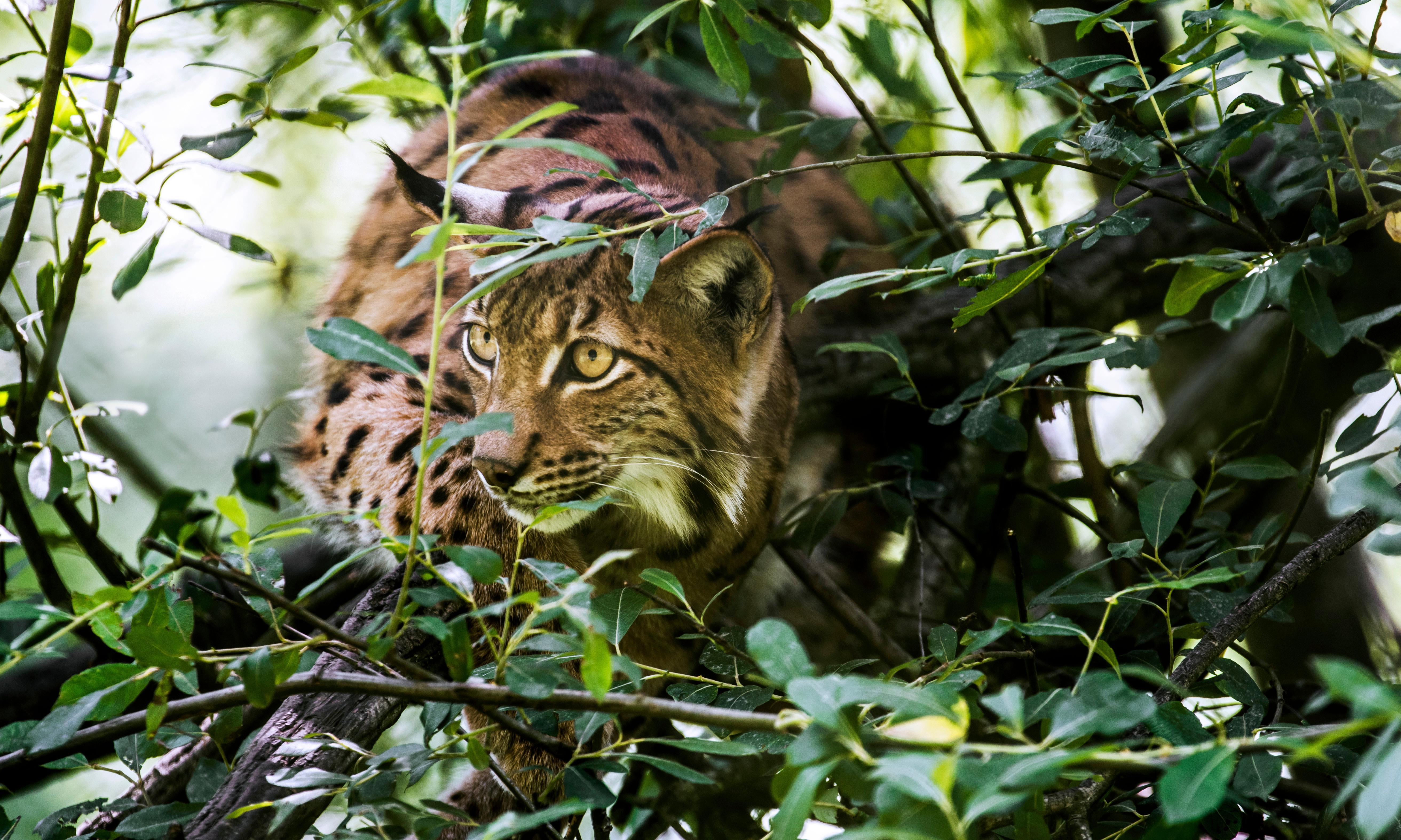 Specieswatch: plan to return lynx to UK receives fresh boost