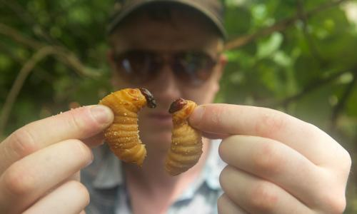 Bugs - Ben with Palm Weevil Larvae in the Amazon	in Peru