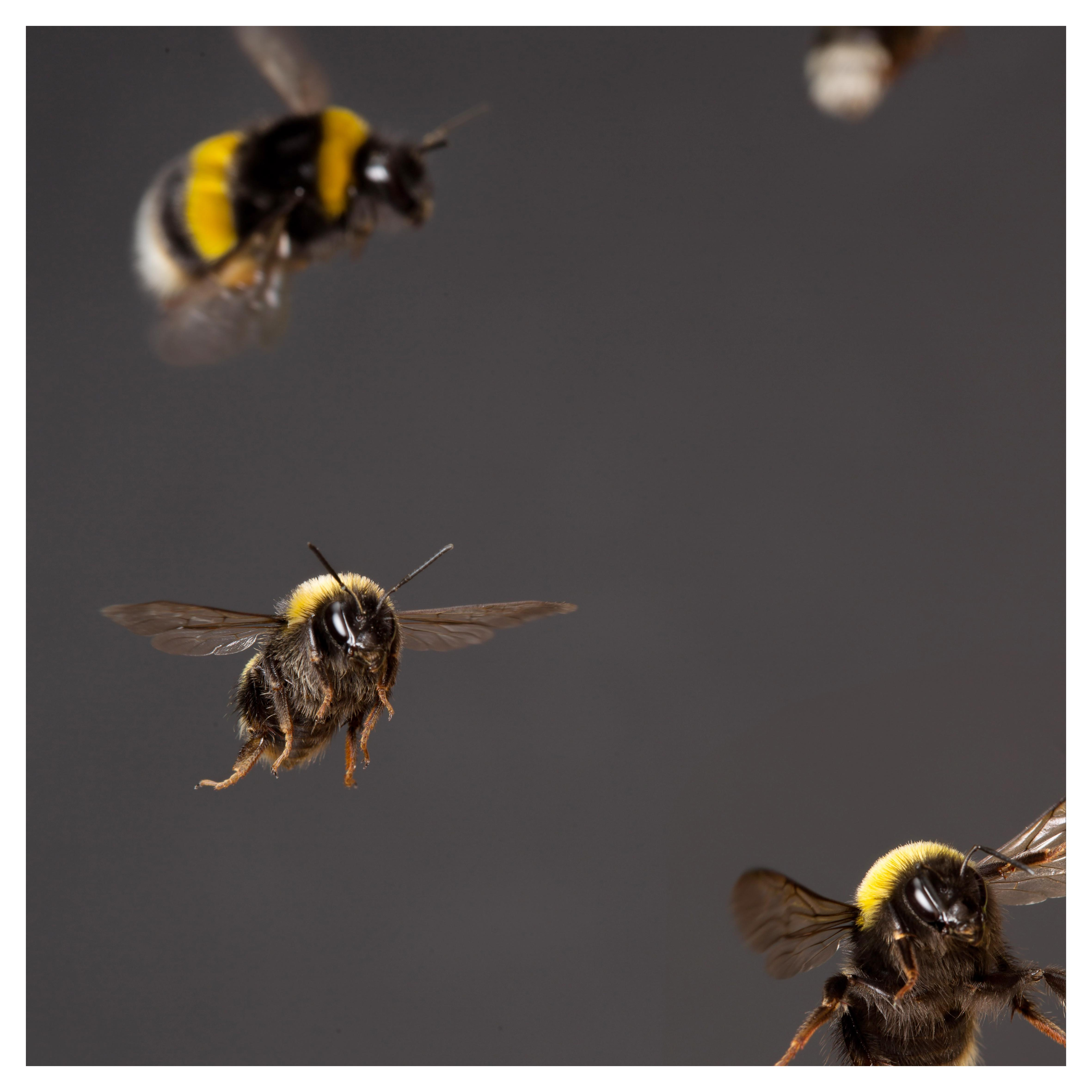 Buy a photograph of bees, by Gerrard Gethings
