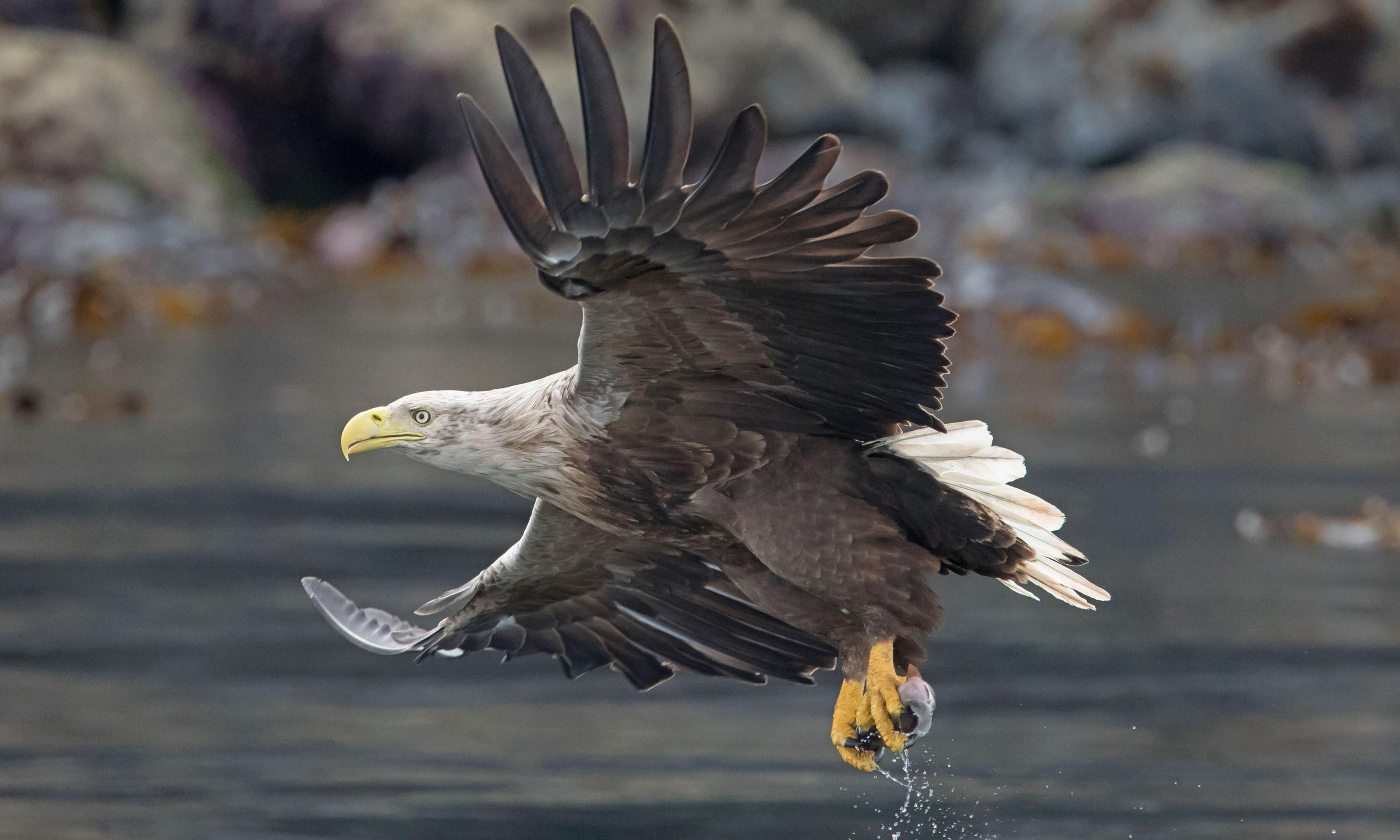 White-tailed eagles return to southern Britain after 240 years