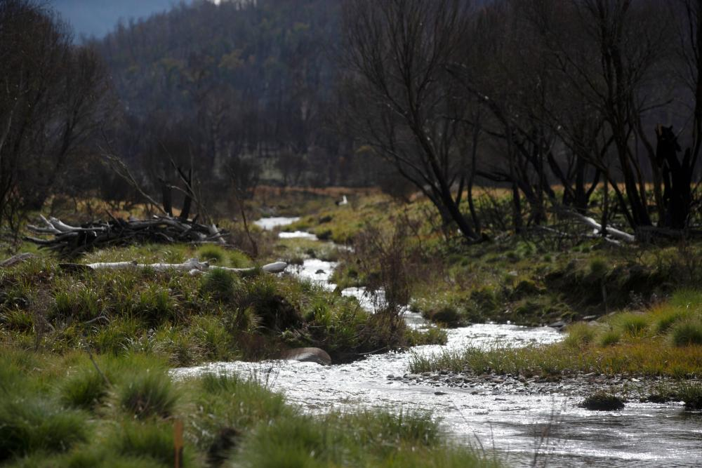 After a fire ash and baked soil run into rivers causing bacteria to grow, which deoxygenates the water, suffocating fish.