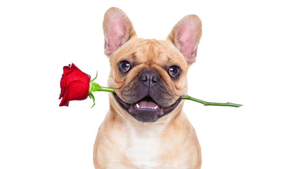Pictures of French bulldogs and other flat-faced pets have become a staple image on greetings cards.
