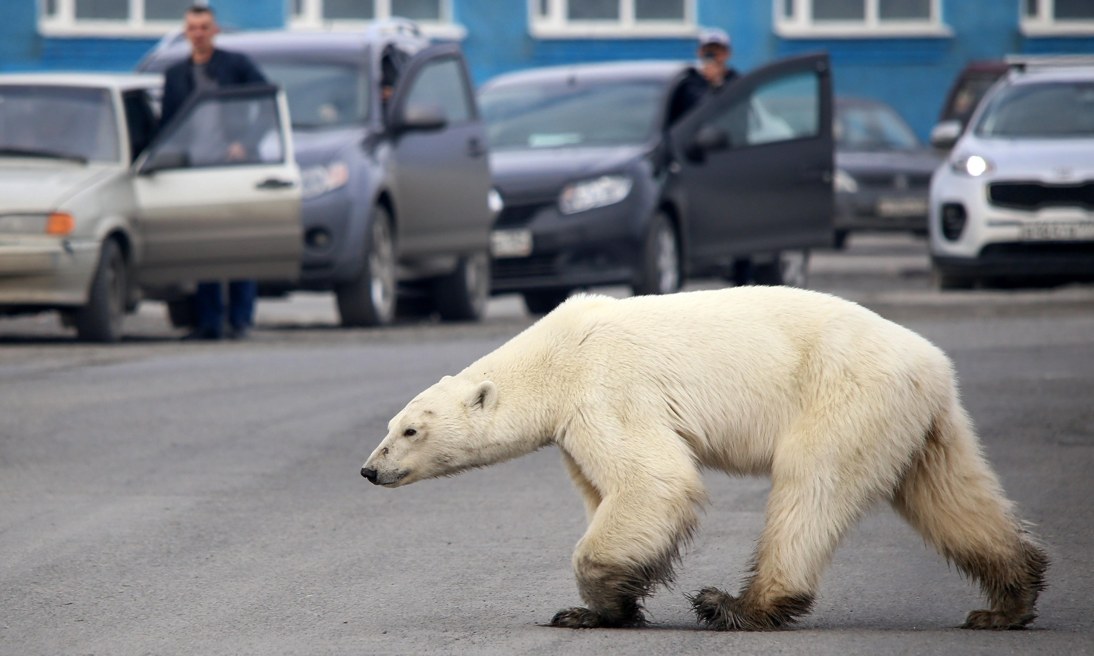 Human disturbance increasing cannibalism among polar bears