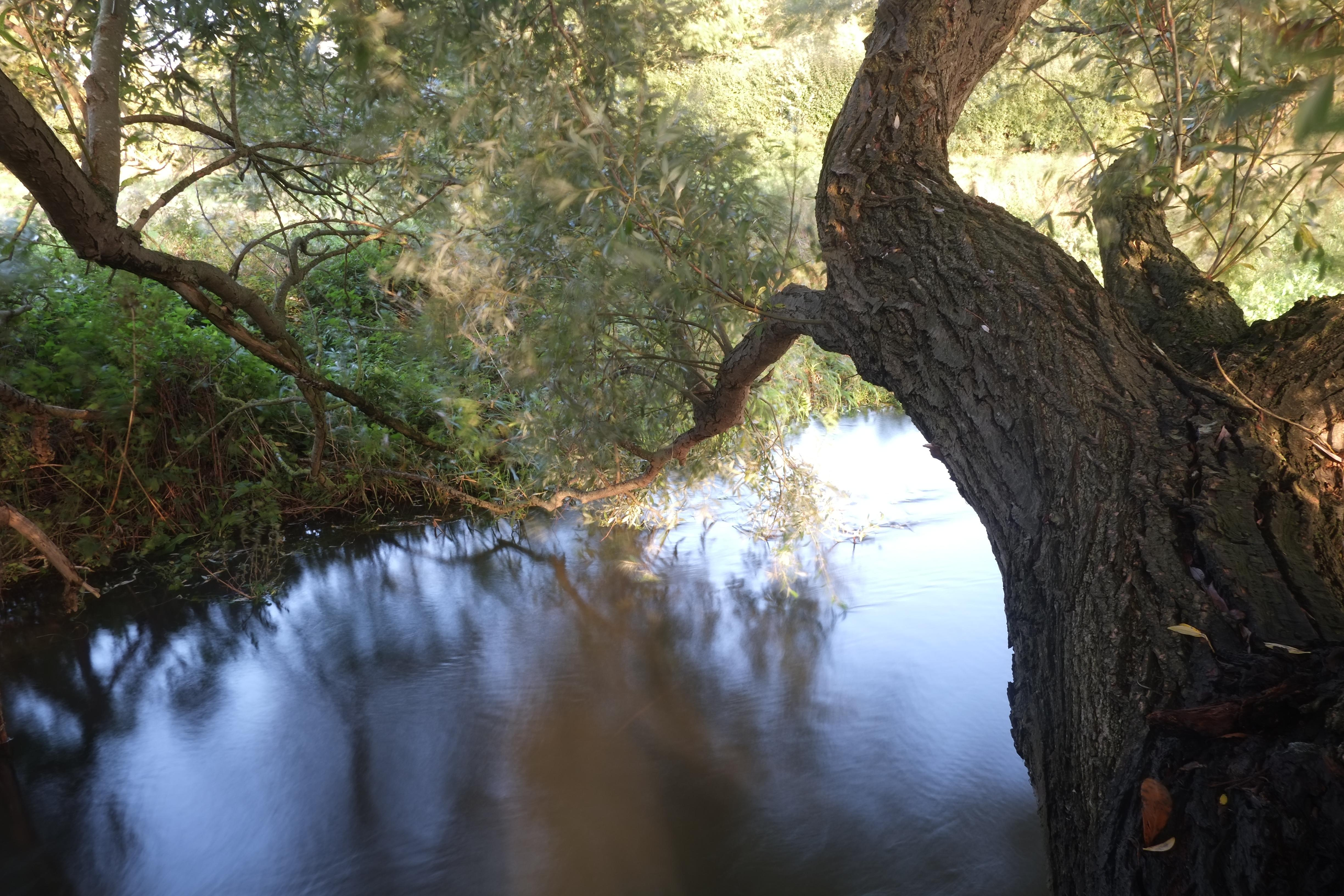 Country diary: where old willows lean