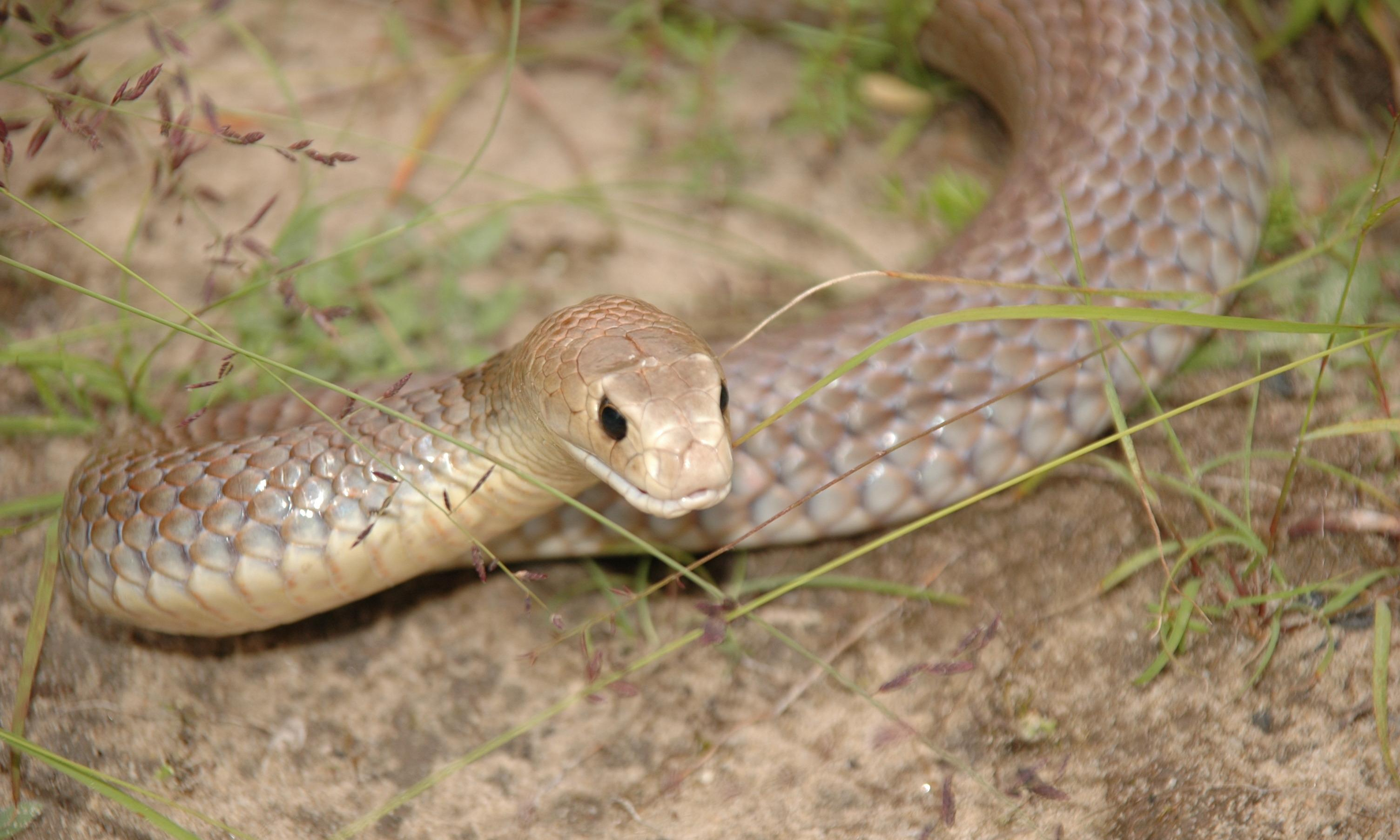 Snake mistake: CSIRO says it's a myth that Australia is home to world's deadliest species