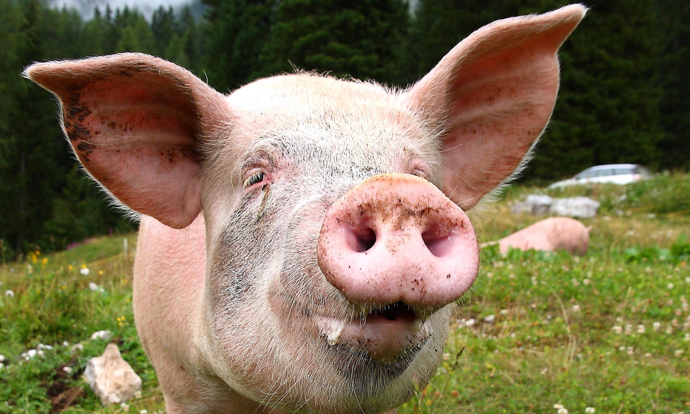 Farmers jailed in Australia for smuggling Danish pig semen in shampoo bottles