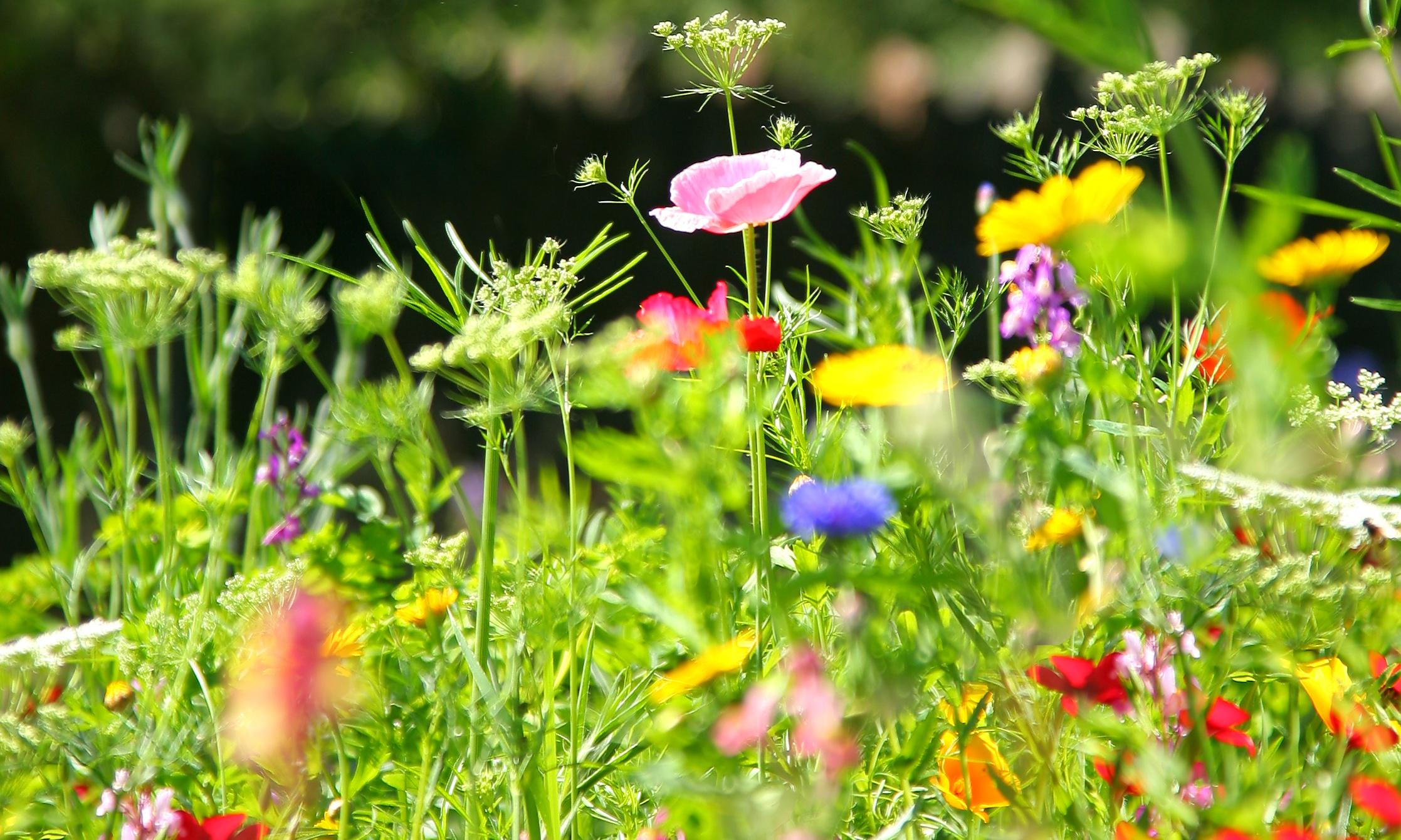 Why you should turn your lawn into a meadow