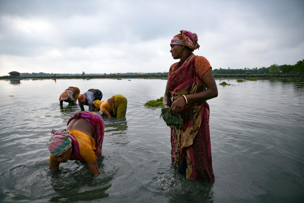 Shrimp farming in the Sundarbans