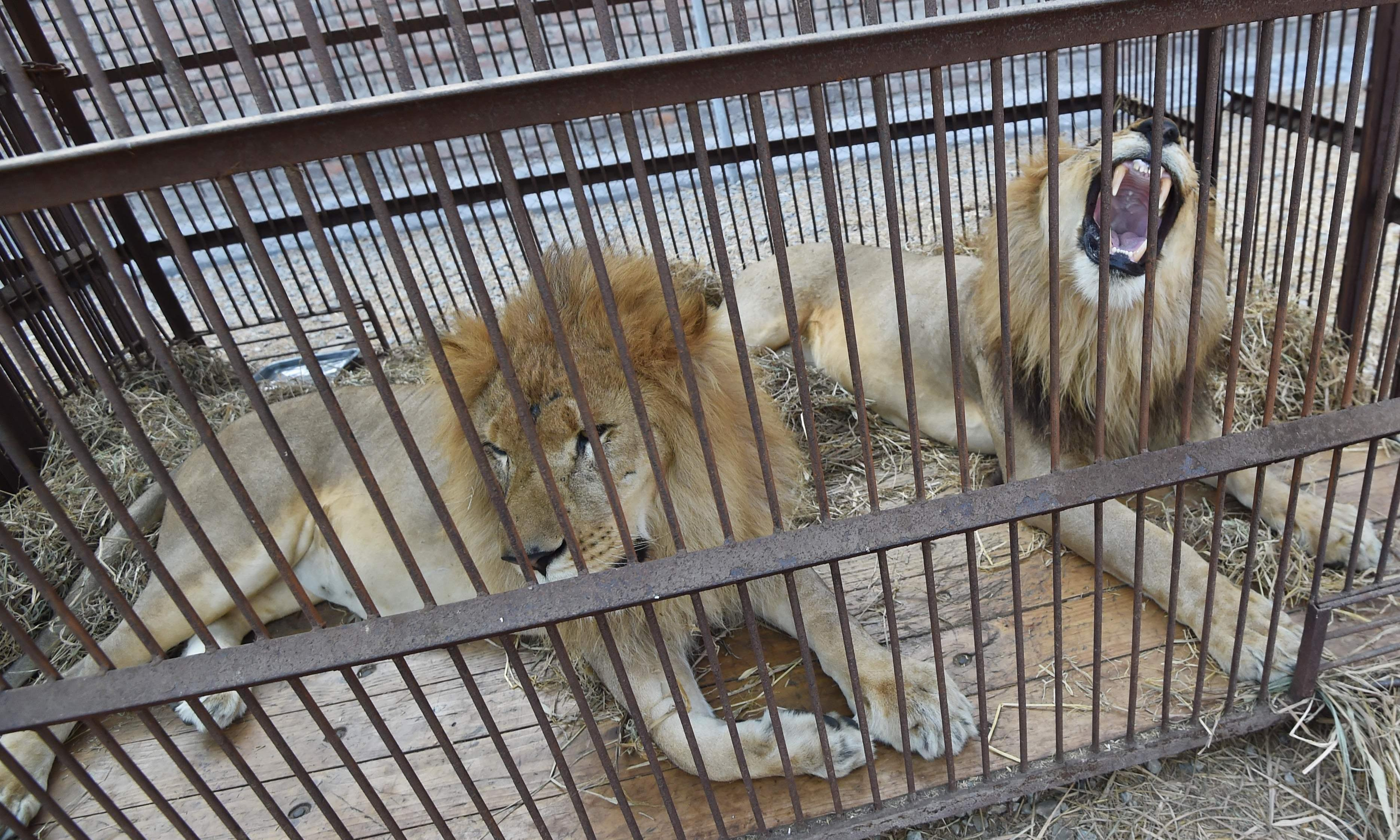 Mane event: 33 lions flown home after rescue from life in the circus