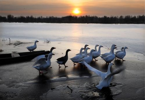 Geese walk on a frozen lake near the village of Perarou, in south-east Belarus