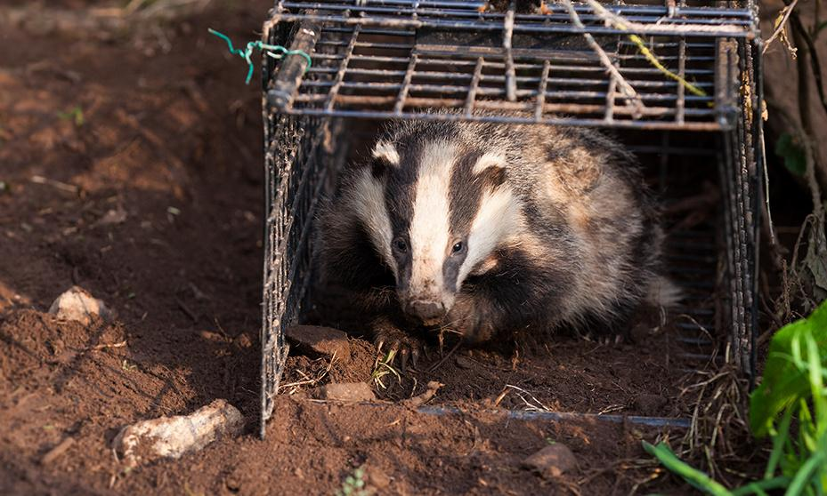 Badger culling may increase spread of tuberculosis, say researchers