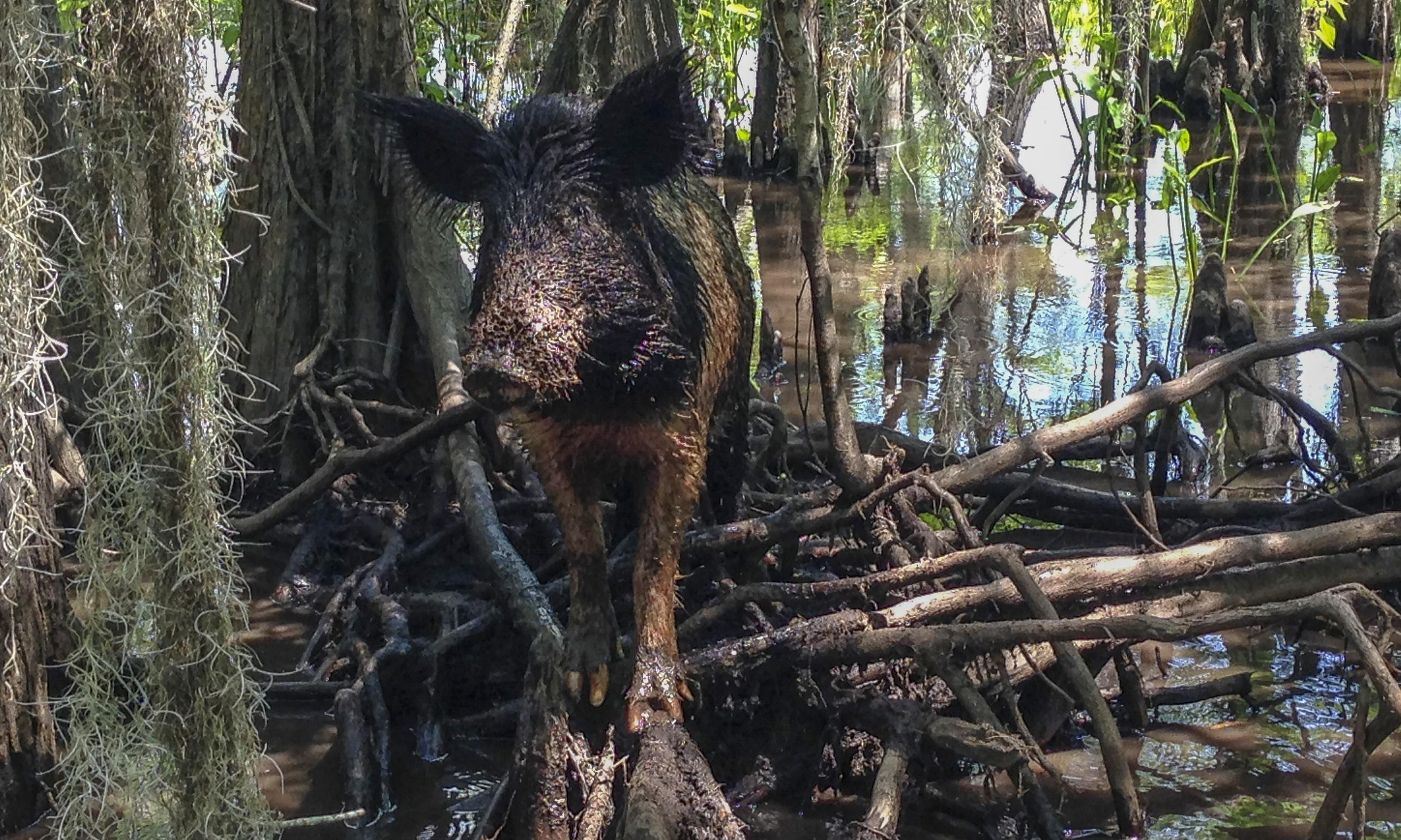 Crisis at the boar-der: panic as Canadian feral hogs approach the US