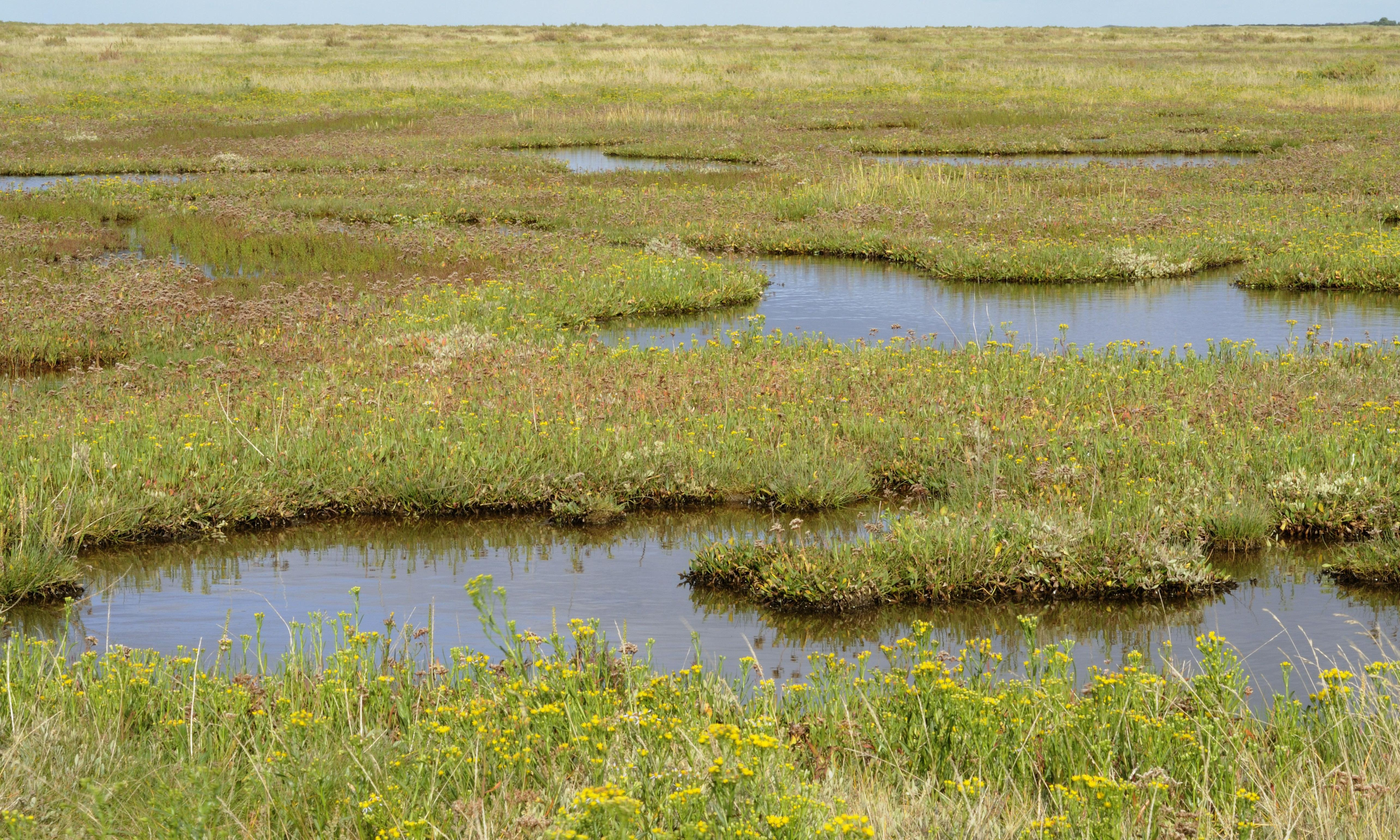 Plantwatch: salt marshes are the unsung heroes saving our coastlines