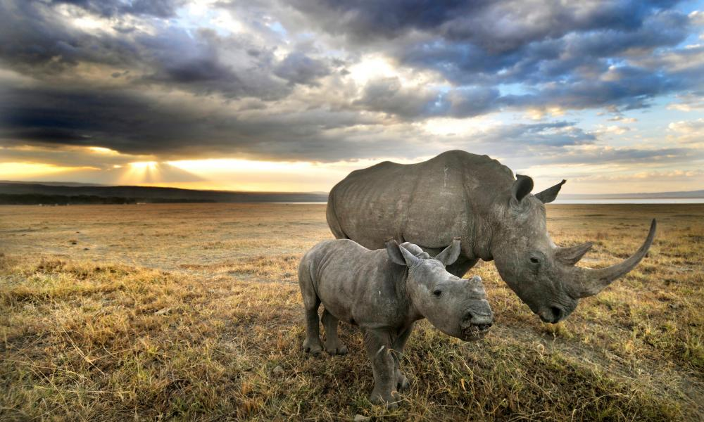 In 2016 poachers killed more than 1,050 rhinos in South Africa alone.