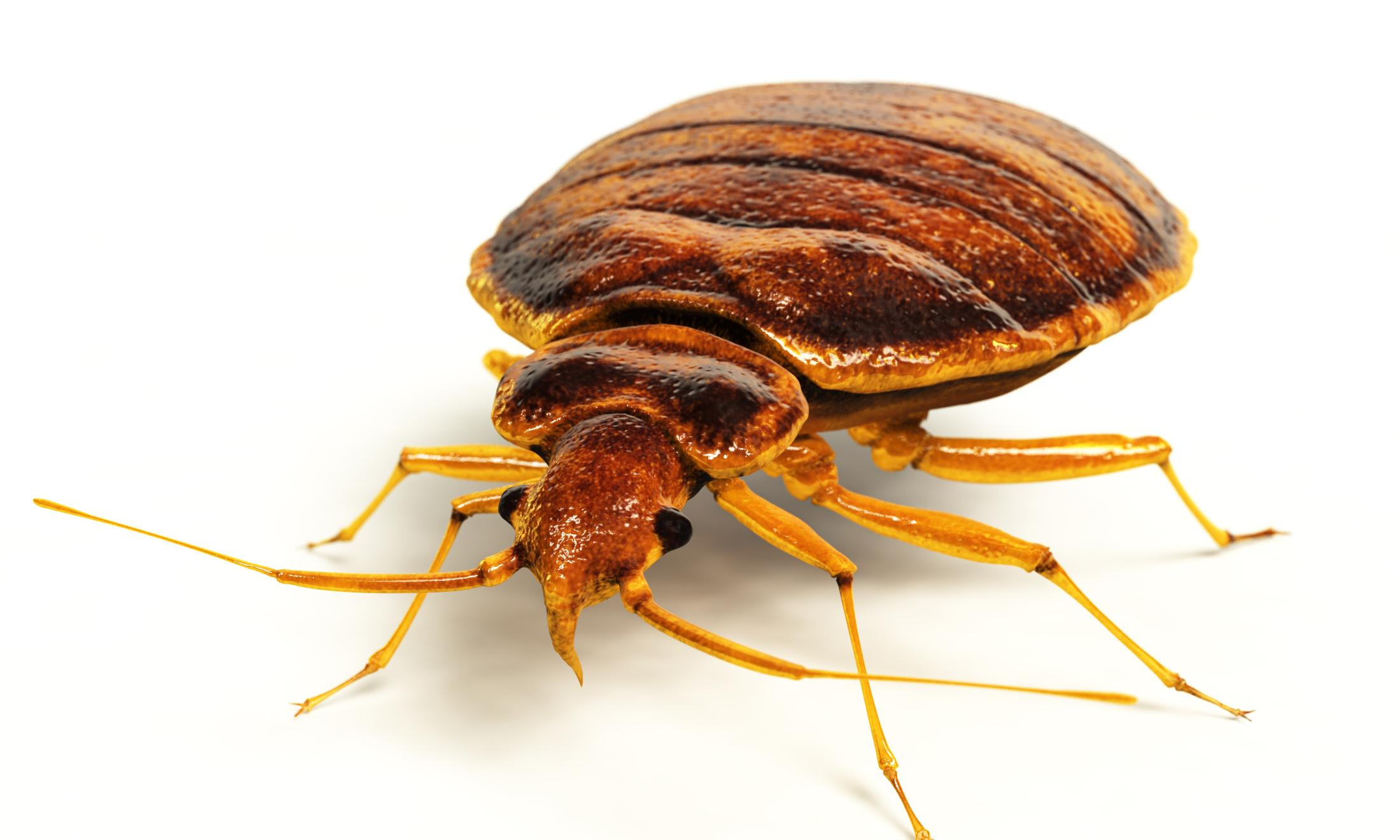 Bedbugs are tiny torturers that ruin lives – no wonder Bret Stephens was upset