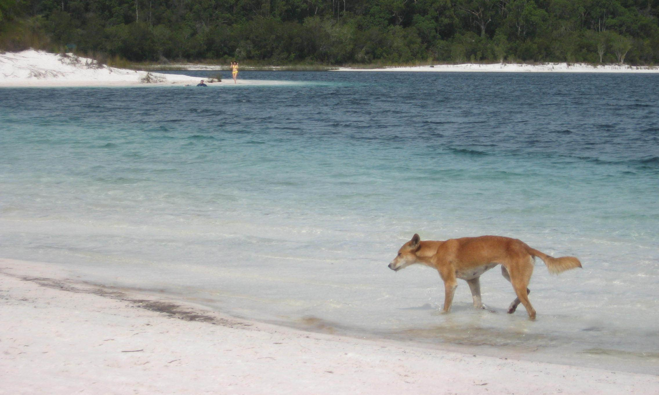 Toddler rescued after dingo drags him from Fraser Island campsite