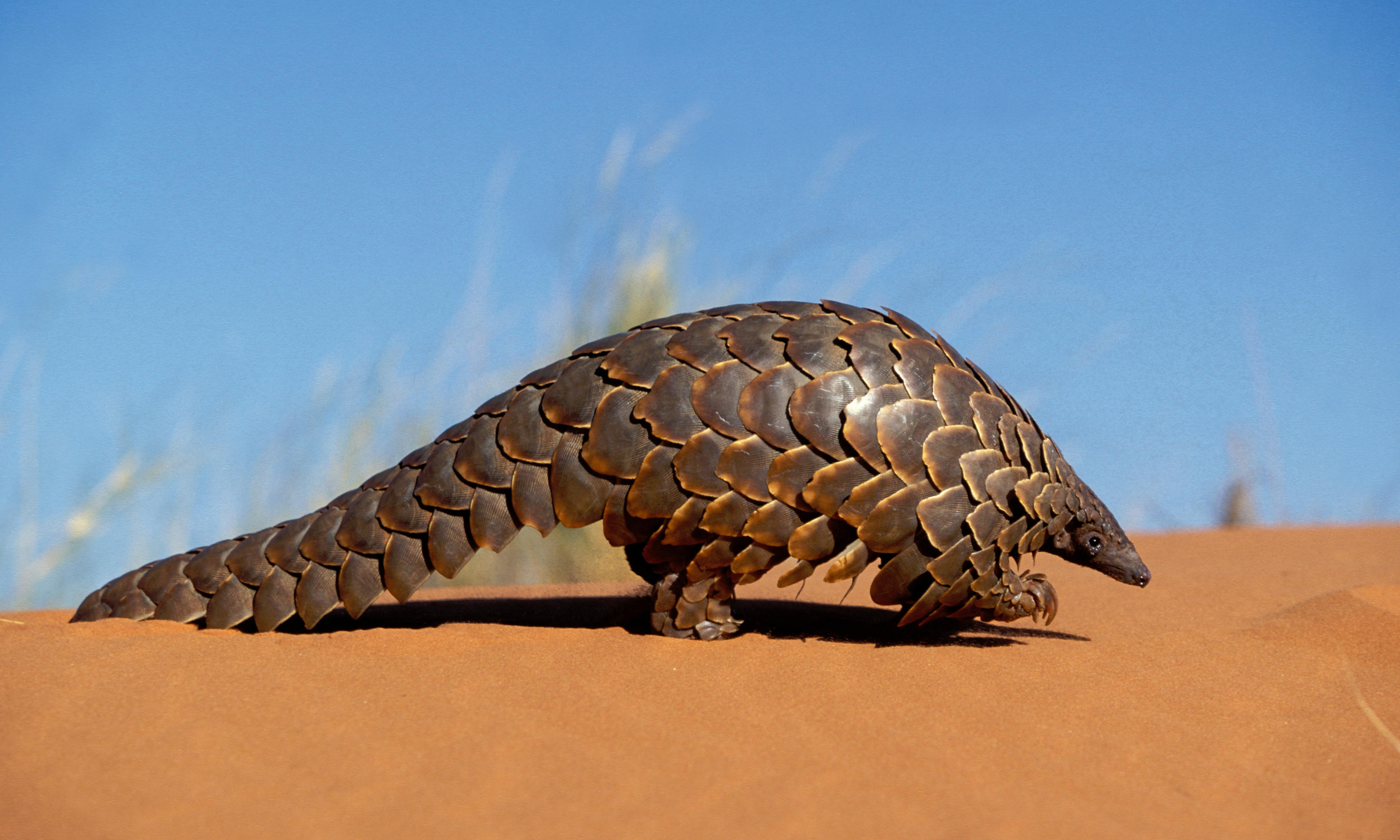 Hunt for bogus asthma cure threatens pangolins