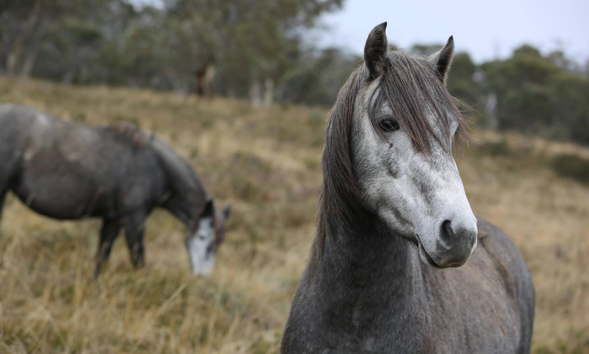 Thousands of feral horses to be removed from Kosciuszko national park after bushfires