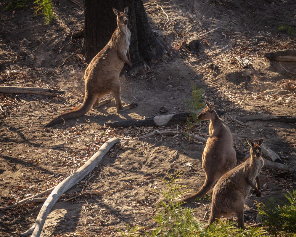 Many of the island's kangaroos as well as its endangered species have survived, but habitats have been ravaged.