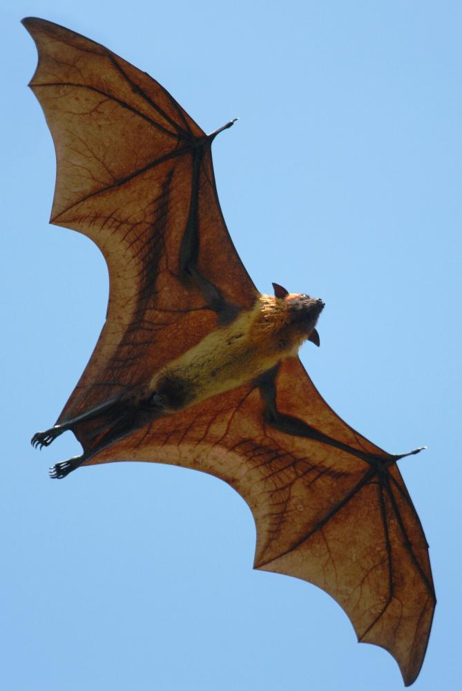 Pterosaur wings were more like those of this flying fox (Pteropus giganteus) from Sri Lanka: membranes stretched between an elongated finger and their legs.