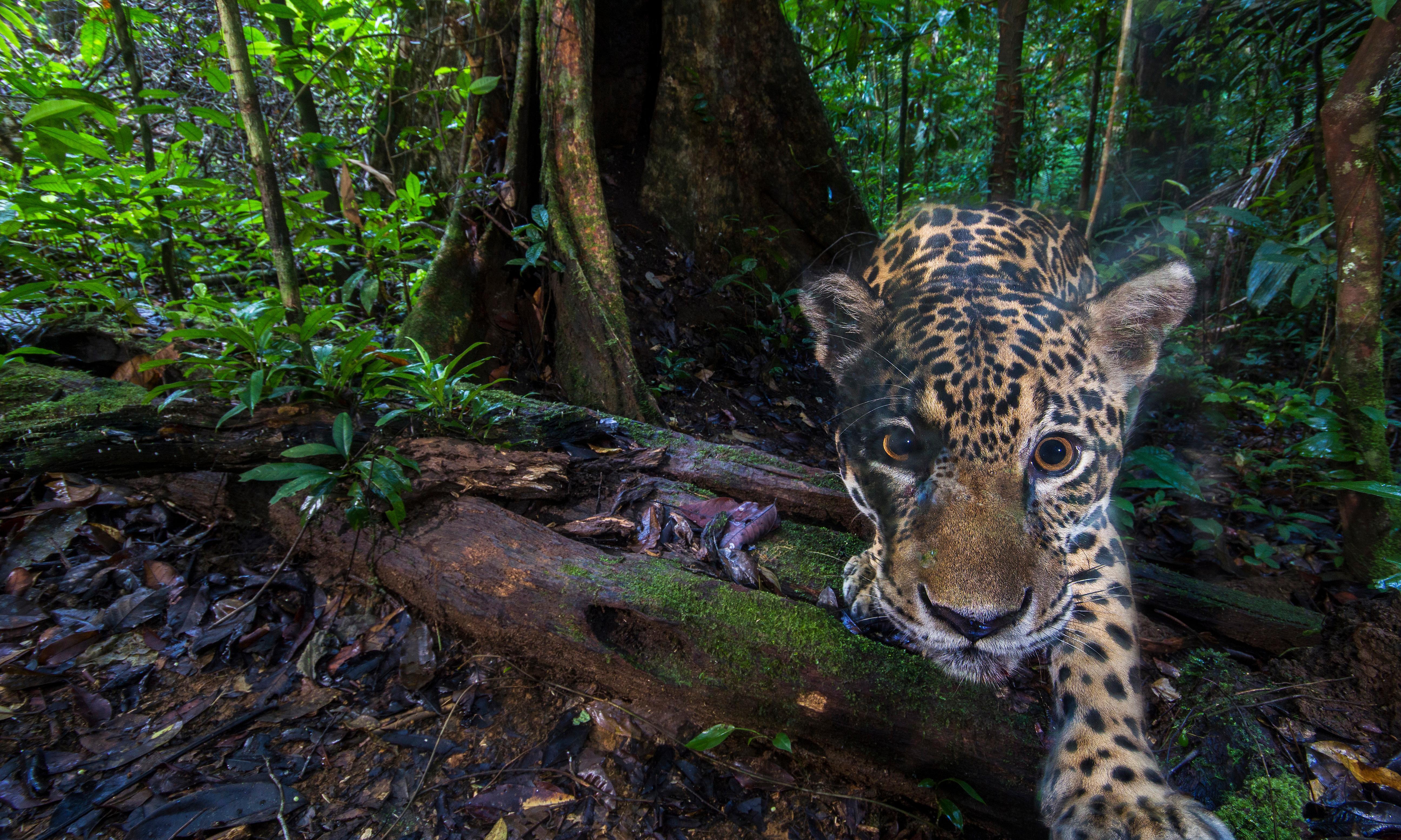 Ecuador's vanishing jaguars: the big cat vital to rainforest survival