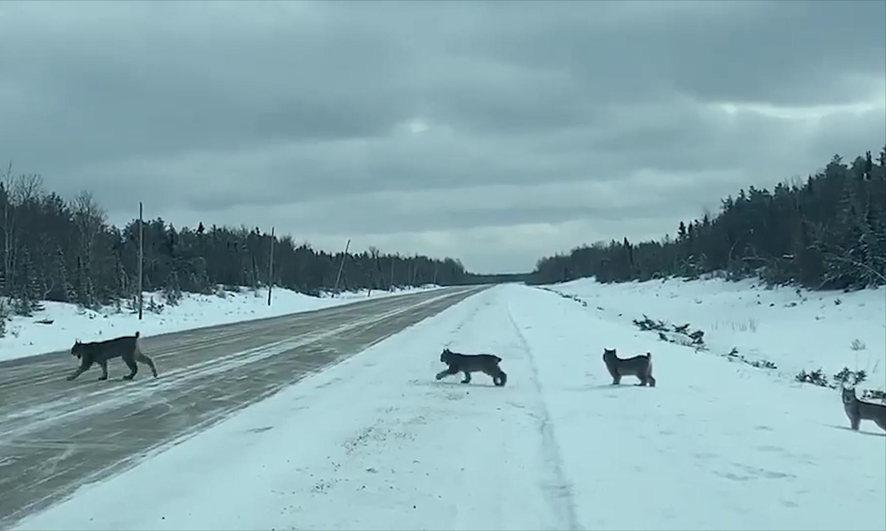 Canada driver captures rare sighting of mother lynx and her kittens