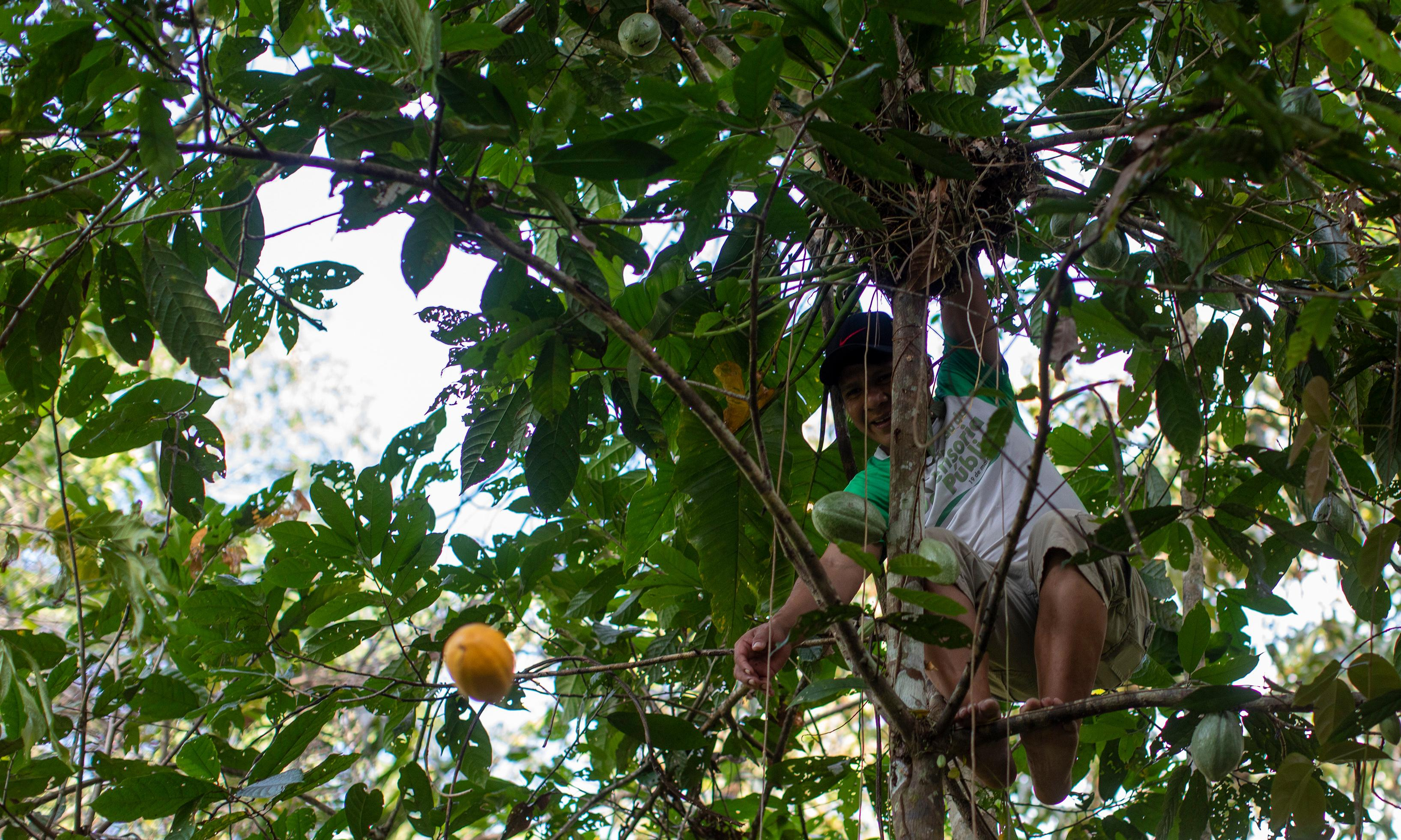 Cacao not gold: 'chocolate trees' offer future to Amazon tribes