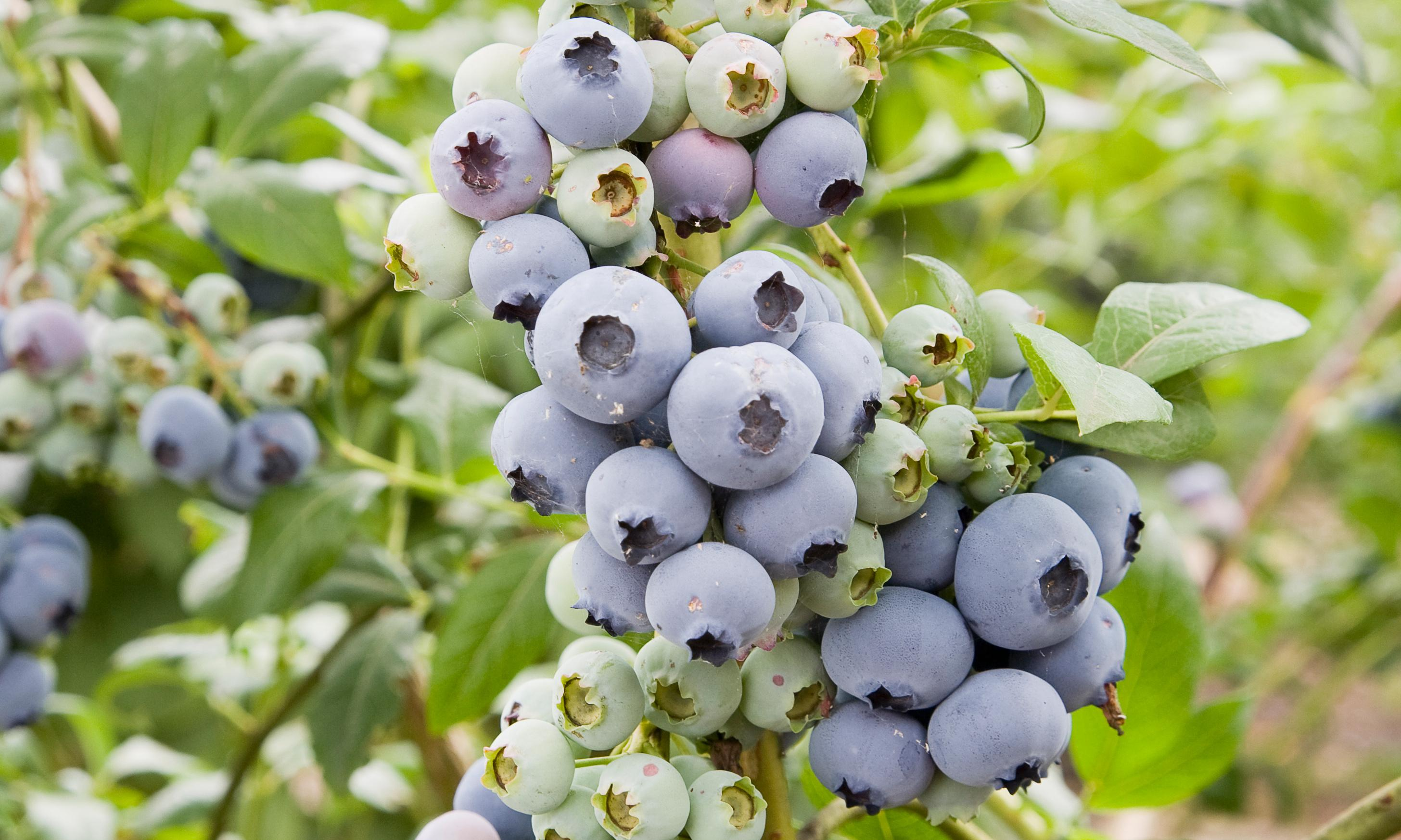 Plant blueberries in December, reap the rewards next year